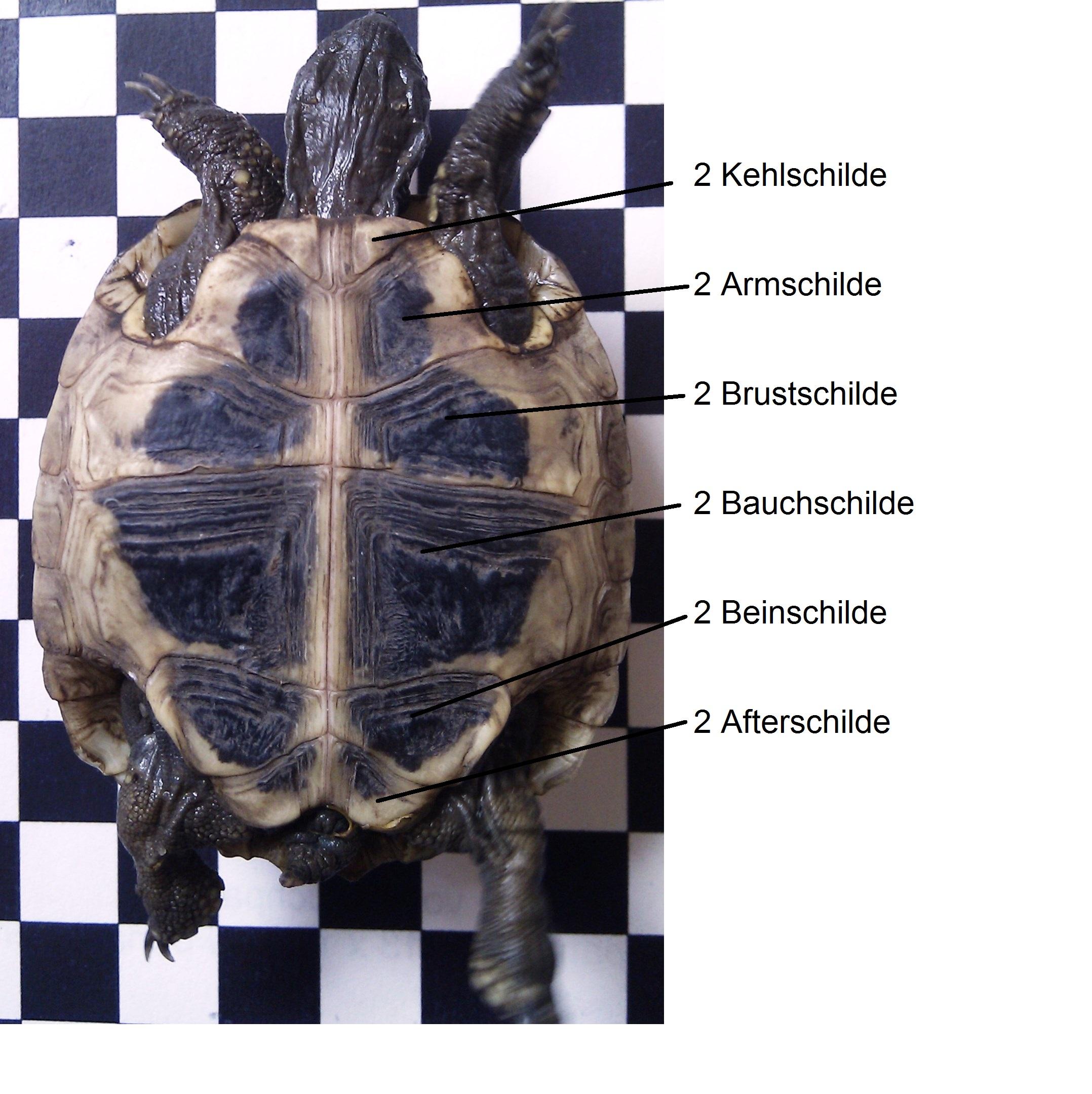 Panzer - Patty Sue - DIE Schildkröte