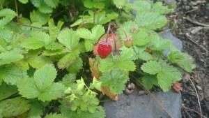 Wald-Erdbeere4