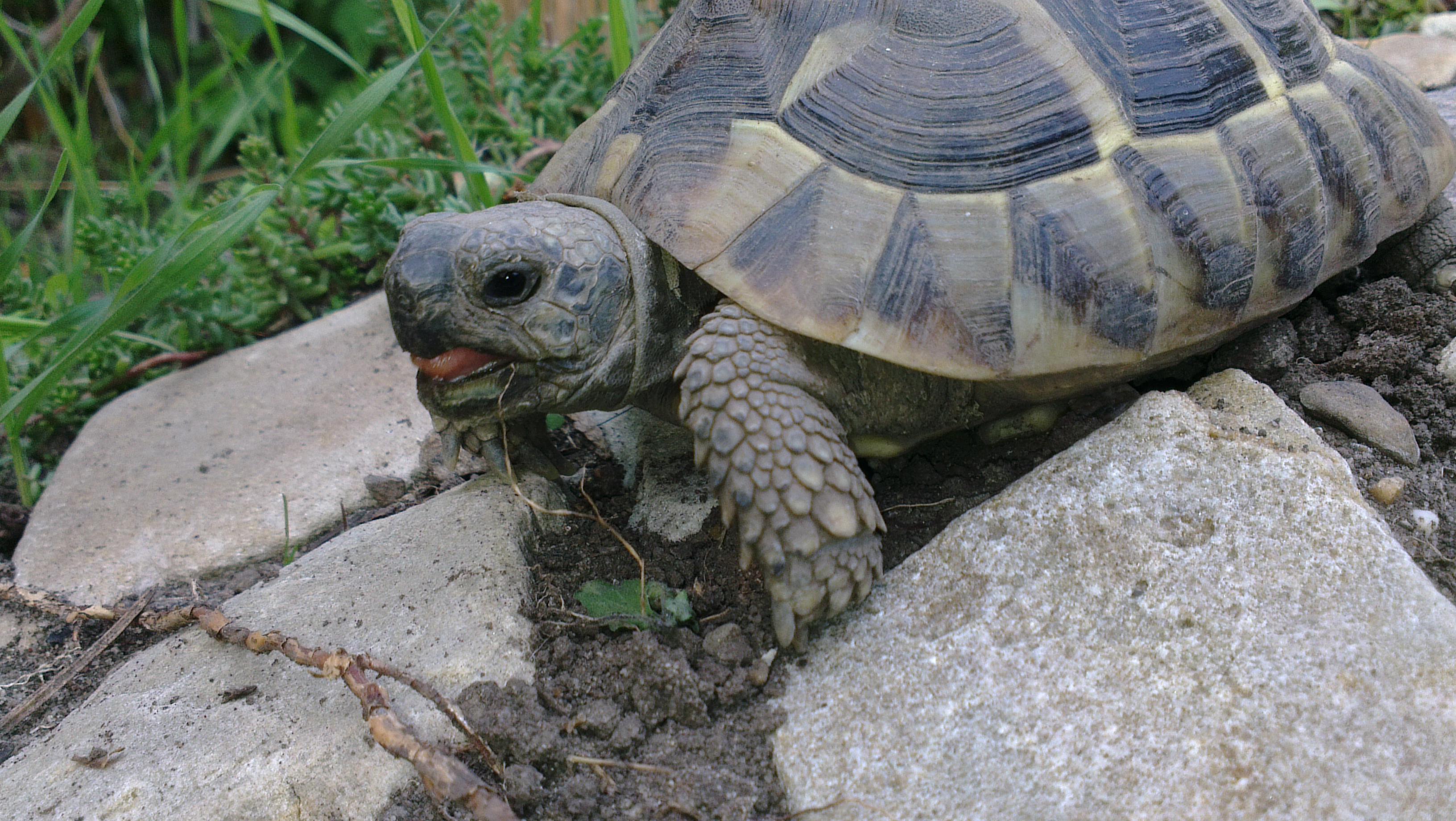 Zunge - Patty Sue - DIE Schildkröte