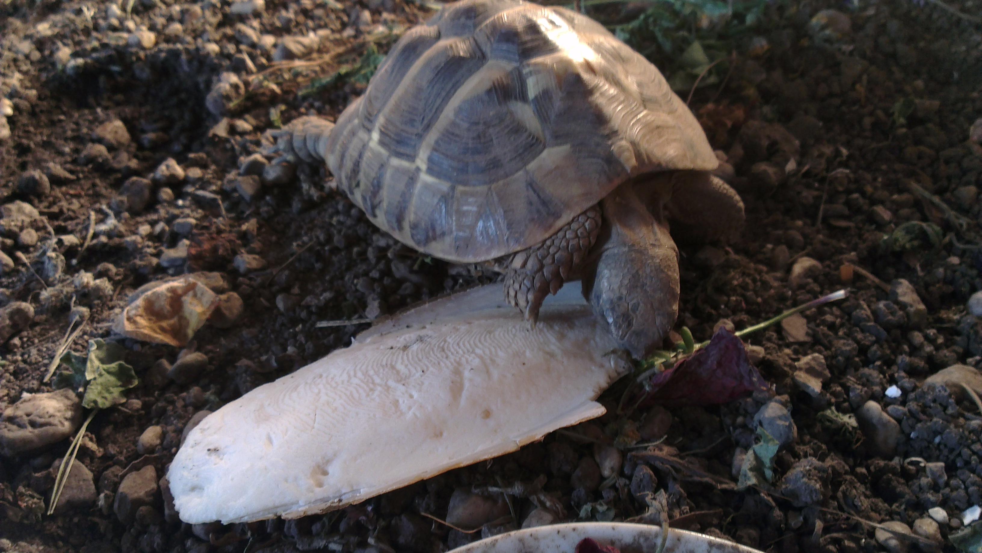 Sepia - Patty Sue - DIE Schildkröte